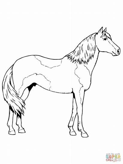 Horse Coloring Pages Paso Fino Sheet Paint