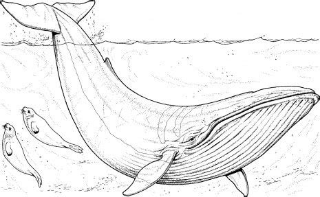 humpback whale coloring pages blue whale coloring page