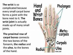 PPT - The humerus is a long bone in the arm that runs from ...