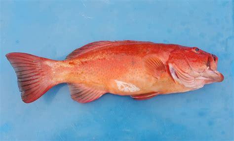 grouper fish