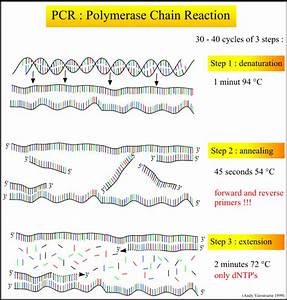 Principle Of The Pcr