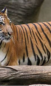 Malayan Tiger by sarajeku on deviantART | Malayan tiger ...