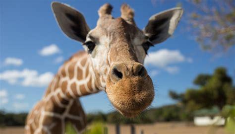giraffe breathe sciencing