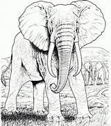 Coloring Elephant Realistic Pages Adults sketch template
