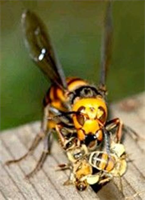 tracker jacker bees tracker jackers really do exist click to read more about the giant asian hornet pinterest