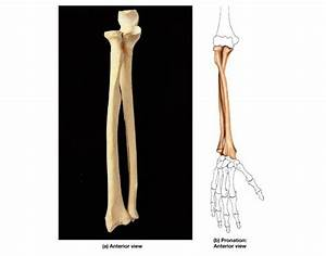 Human Forearm Bones Anatomy Quiz