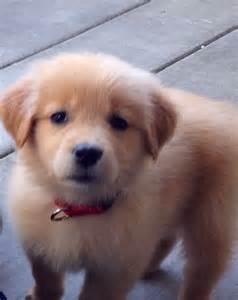 Girl Golden Retriever Puppies