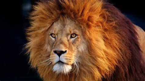 Masai Lion Wallpapers