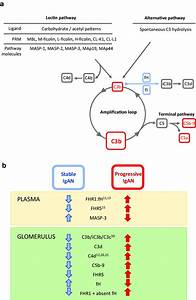 Complement And Iga Nephropathy   A  Schematic Diagram
