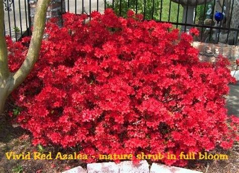 vivid red azalea rhododendron