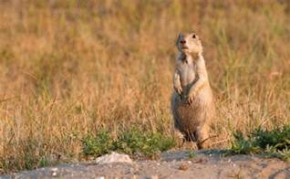 Animal Prairie Dog
