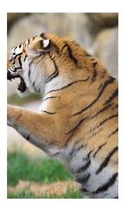 Tiger 4k Ultra HD Wallpaper | Background Image | 3840x2160