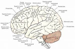 Diagram  Brain Anatomy Diagram Quiz