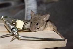 Comment Se Débarrasser Des Souris Dans Les Murs : odeur de souris morte dans les murs ~ Melissatoandfro.com Idées de Décoration
