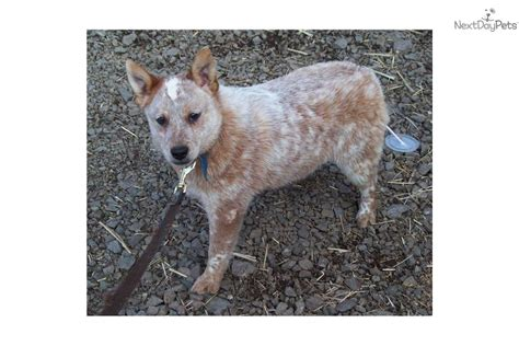 Miniature Blue Heeler Shedding by Heeler Traits Breeds Picture