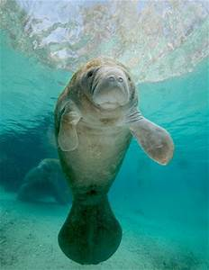 Gregory Sweeney - Cute Baby Manatee | WILDLIFE | Pinterest