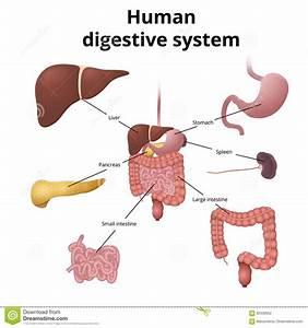 Gi Tract Organs Stock Vector  Illustration Of Biology