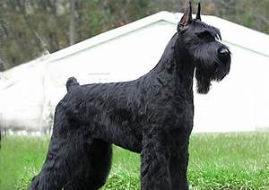 Giant Schnauzer Dog Photo - Doglers