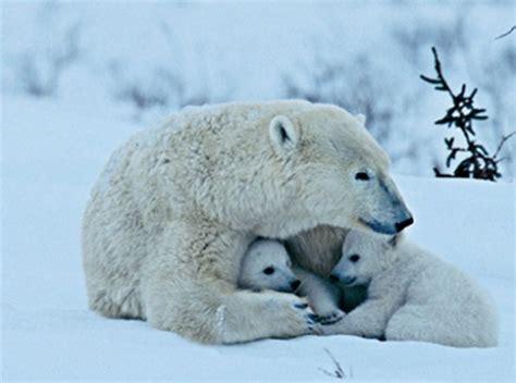 viky fotoalbum obrazky medvedi ledni medved