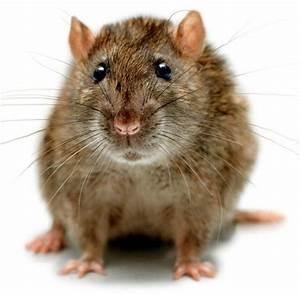 Wie Vertreibt Man Ratten : wie vertreibt man ratten ratten wenn ratten zum problem werden ratten ratten und m use archive ~ Eleganceandgraceweddings.com Haus und Dekorationen