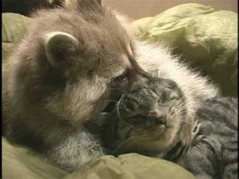 raccoon  cat playing youtube