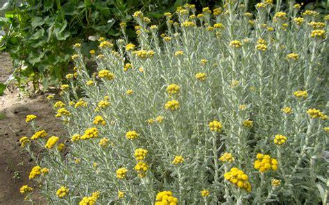 afrikanische immortelle pflanze helichrysum splendidum