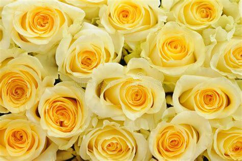Soft yellow roses stock photo Image of anniversary