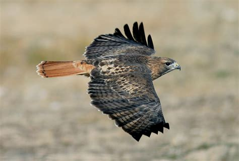 live streaming red tailed hawk nesting at cornell