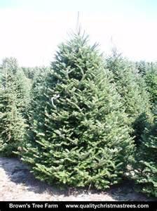 Frasier Fir Christmas Trees by Wholesale Christmas Trees