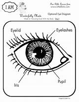 Eye Coloring Human Diagram Anatomy Science Parts Pages Bible Lessons Da Drawing Activities Printables Books Lesson Clipart Realistic Educational Koibana sketch template