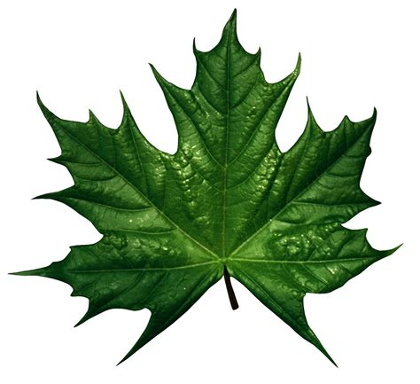 Green leaves | Leaves, Green leaves, Plant leaves