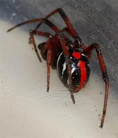 Black Widow Spider Michigan