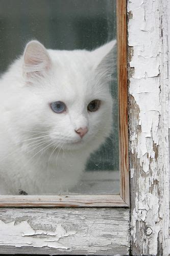 Pretty White Cat