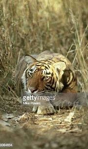 Bengal Tiger Panthera Tigris Young Male Ranthambhore Np ...