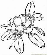 Magnolia Coloring Flower Flowers Printable Getcolorings Vector Natural Getdrawings выбрать доску раскраски sketch template