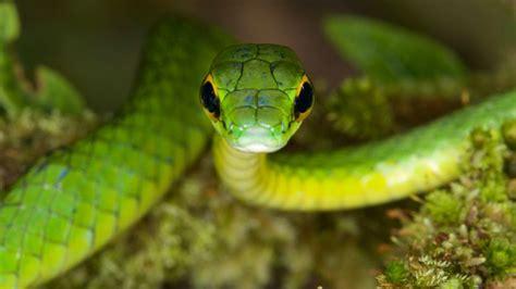 Green Animal Wallpaper - wallpaper satiny parrot snake snake green danger