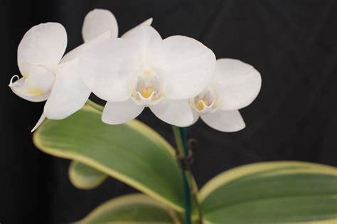 phalaenopsis pure moon