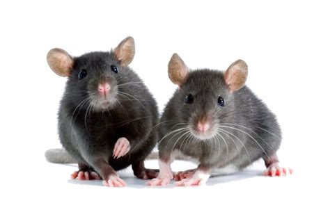 Mäuse Im Haus Was Tun by Was Tun Gegen M 228 Use Im Haus Pest Profi Sch 228 Dlingsbek 228 Mpfung