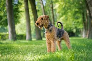 Are Airedale Terriers Hypoallergenic