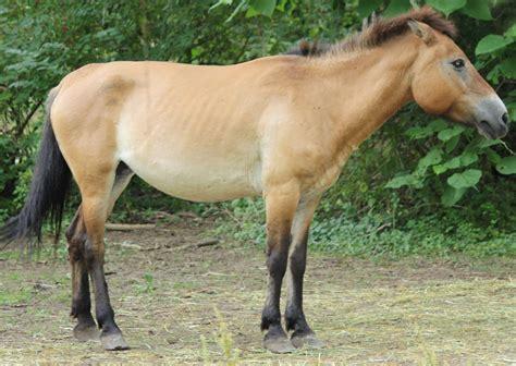 File:Mongolian Wild Horse 001.jpg - Wikimedia Commons