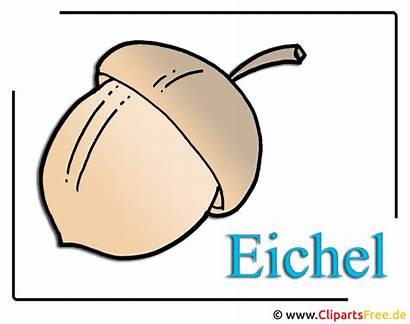 Clipart Eichel Kostenlos Bild Acorn Pflanzen Gratis