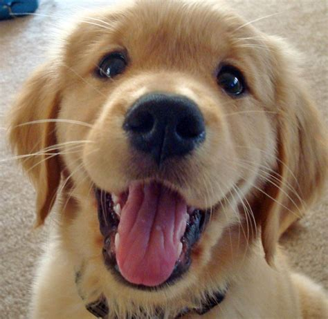 28 Best Smiling Puppies Images On Pinterest Happy Dogs