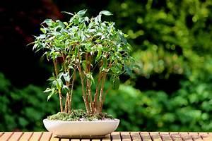 Ficus Bonsai Schneiden : ficus benjamini zum bonsai erziehen so wird 39 s gemacht birkenfeige ~ Indierocktalk.com Haus und Dekorationen