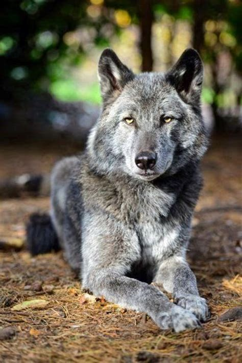 wolf hybrid 40 majestic gray wolf pictures tail and fur