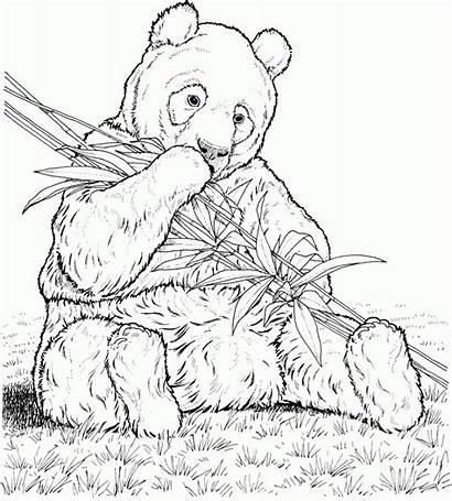 Coloring Panda Pages Printable Popular