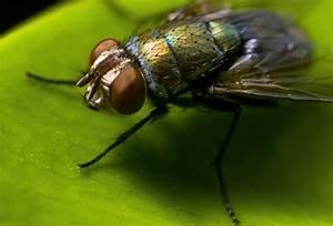 common housefly 020 by otas32 on DeviantArt