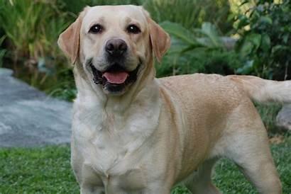 Labrador Retriever Wallpapers Dog Lab Dogs Desktop