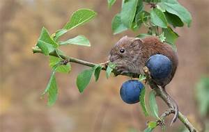 Red, Vole, Mouse, Rodent, Turn, And, Plum, Branch