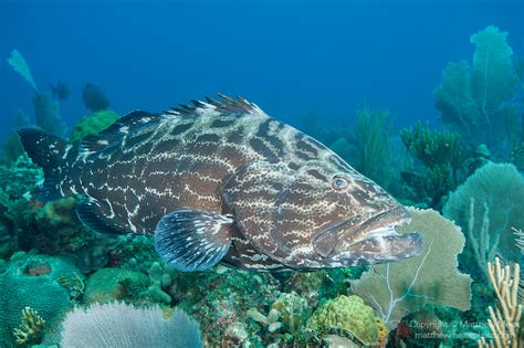 grouper fish cuba coral queen swimming gardens reef marbled patterning dark