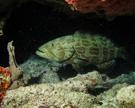 fish predatory coral reefs caribbean predators grouper overfishing deserted fishing reef biologicaldiversity study mostly absent due idyllic blame predator marine
